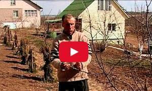 как обрезать молодые деревья для хорошего роста видео