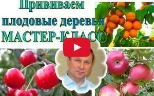Как правильно прививать плодовые деревья видео
