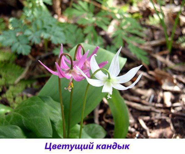цветущий кандык