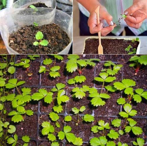 Как сажать землянику семенами на рассаду 2