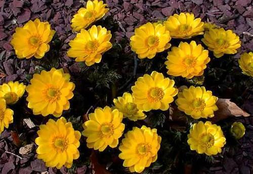 Каталог многолетних цветов для дачи: фото