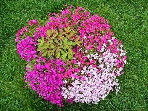 Выбрать низкорослые цветы для клумбы