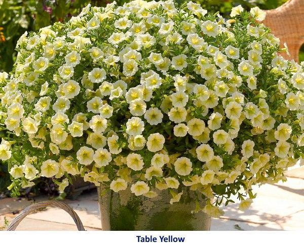 сорт петунии Table Yellow