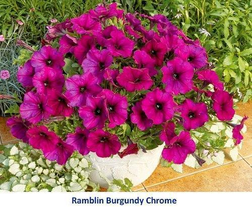 Хвойные растения для сада  купить саженцы хвойных