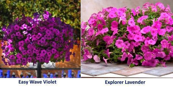 Петуния Easy Wave Violet и Explorer Lavender