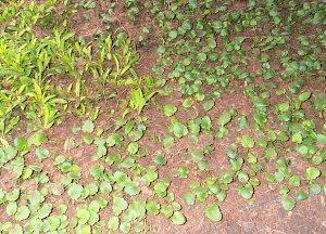 Виола выращивание из семян когда сажать