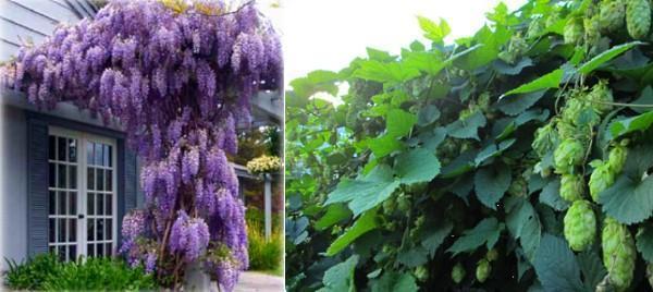 Садовый вьющийся цветок