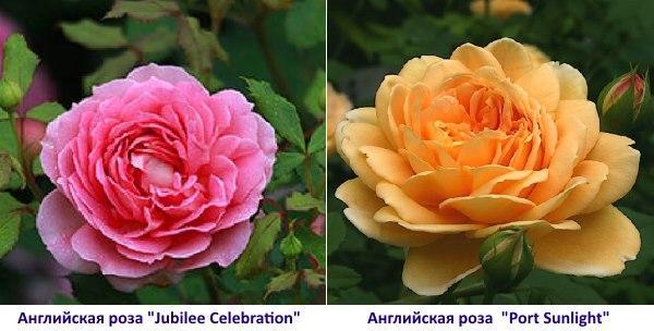 """Английская роза  """"Port Sunlight"""""""