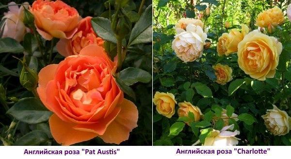 Английская роза Charlotte ― фото