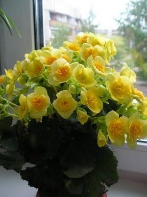 Желтые цветы бегонии Элатиор