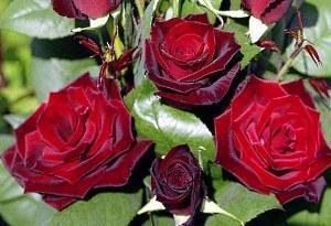 Советы как посадить розу из букета в картошке
