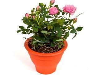 карликовая китайская роза