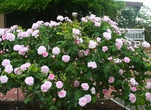 канадские розы фото