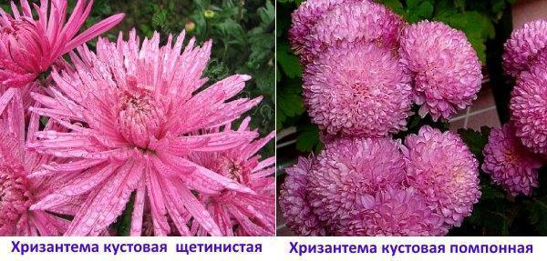 Хризантемы: кустовая щетинистая и помпонная