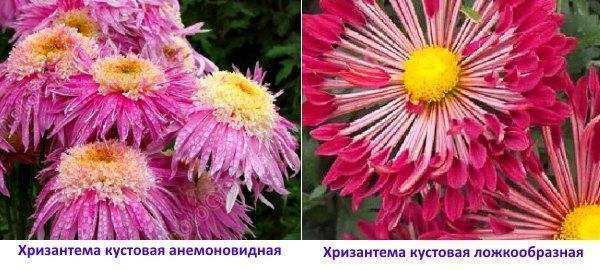 Фото хризантемы кустовой анемоновидной и ложкообразной