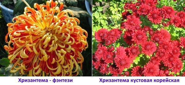 Фото хризантемы кустовой корейской и фентези