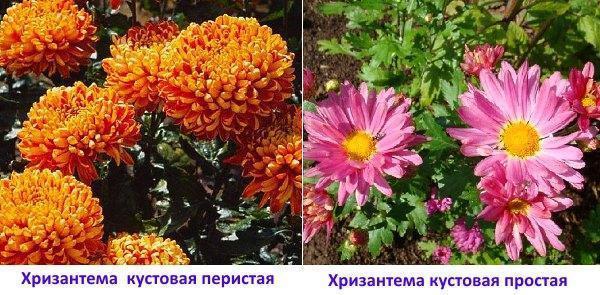 Хризантемы: кустовая перистая и кустовая простая