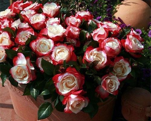 Роза чайно-гибридная «Ностальжи» фото