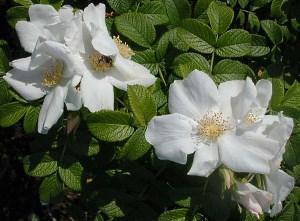 Белая морщинистая роза