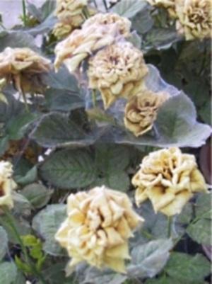 паутинный клещ на кусте розы