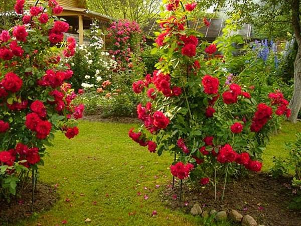 Секреты выращивания роз на даче 13