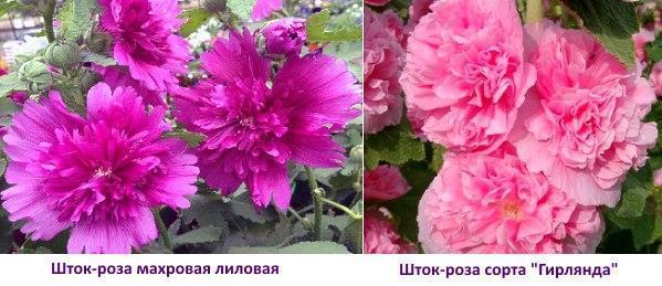 Фото шток-розы махровой и гирлянды