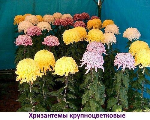 хризантемы крупноцветковые