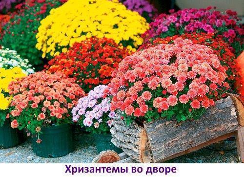 Когда и как сажать многолетнюю хризантему