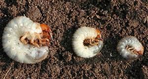 личинки