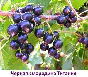 Обзор сортов черной смородины с фото - для Урала, Сибири, Подмосковья