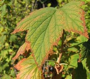 Фото у смородины сохнут листья