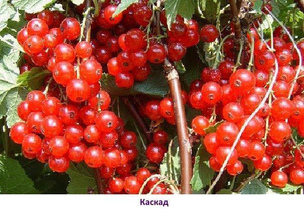 Сорт красной смородины - Каскад