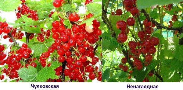 Чулковская и Ненаглядная
