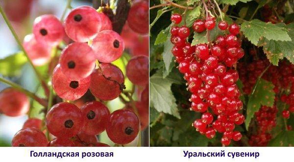Голландская розовая и Уральский сувенир - фото