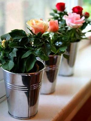 розы в горшочках