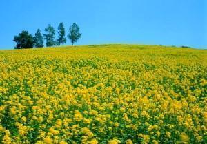 Горчица как удобрение - посев для почвы, видео