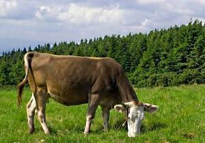 Коровий навоз