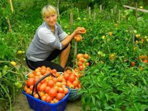 Богатый урожай помидор