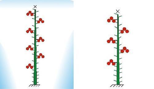 Схема формировки индетерминантных томатов