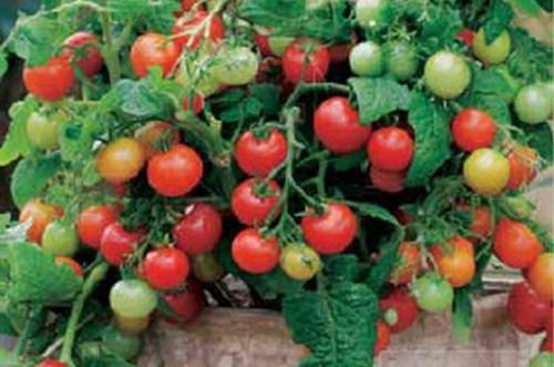 детерминантный сорт томатов фото