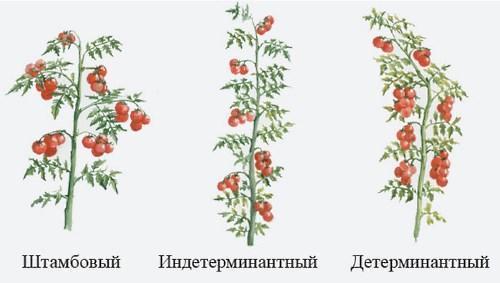 детерминантные и индетерминантные помидоры отличия на фото