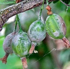 мучнистая роса на плодах крыжовника