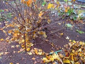 Обработка крыжовника после сбора урожая осенью