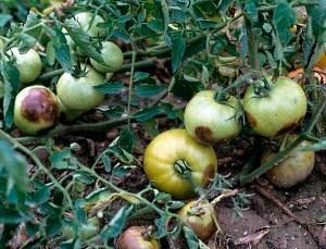 помидоры с фитофторозом