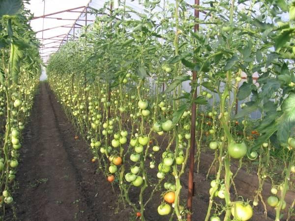помидоры в теплице.