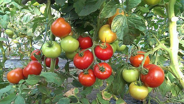 высокоурожайные сорта помидор