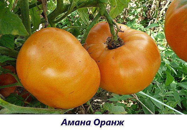 сорт Амана оранж