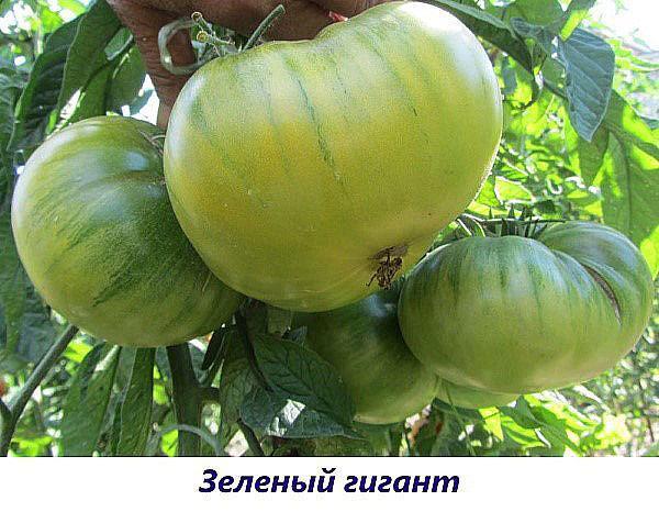 сорт Зеленый гигант