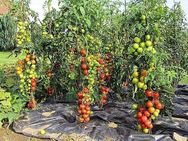 высокоурожайные сорта помидор на даче