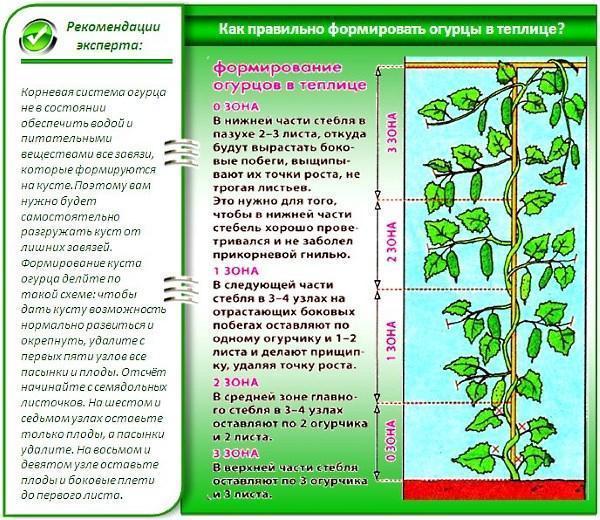 Правила выращивания огурцов в теплице - сорта, видео